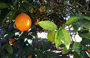 An orange tree that is infected with huanglongbing. Leaf symptoms begin on one or a few branches and slowly spread to the rest of the tree.