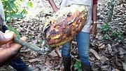 Cocoa pod damage Cote D'Ivoire