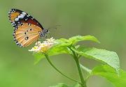 Butterfly pollinating during monsoon season. Hitesh Chhetri / www.shutterstock.com