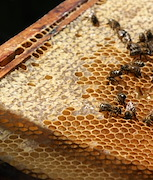 The European honey bee (Apis mellifera) is the most common species of honey bee. Philip Donkersley, Author provided