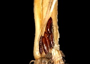 The Hessian fly (left). Its pupae (right) settle in the crown of wheat seedlings, just above the roots, and feed on the plant's juices, stunting plant growth. USDA & KANSAS STATE