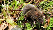 By finding three relatives of this Filipino worm-eating mouse, biologists have demonstrated that speciation can occur on smaller islands than previous thought. L. R. HEANEY/THE FIELD MUSEUM
