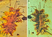 This is a new green lacewing larva from Burmese amber. Credit: Nanjing Institute of Geology and Palaeontology