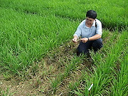 Testing for rice blast resistance in genetically engineered rice plants is done in various countries. ARS plant pathologist Yulin Jia samples a field in Colombia for the disease. Photo by Fernando Correa.