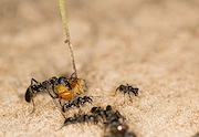 THESE ARE MATABELE ANTS CARRYING A TERMITE PREY BACK TO THE NEST. CREDIT: ERIK FRANK