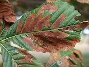 Leaves of horse-chestnut tree damaged by leaf miner larvae.