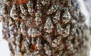 Spotted pest: The brown peach aphid though only around 3 mm long is an exotic, invasive pest.