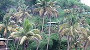 Yellowing coconuts, Fiji