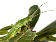 A green morph of the Timema genus of stick insects. Utah state university biologist Zach Gompert, with colleagues from the University of Sheffield, the University of Connecticut, the University of Notre Dame and Simon Frazier University, publish findings about natural selection and the predictability of evolution, based on studies of these insects, in the Feb. 16, 2018, issue of the journal Science.