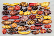 Potatoes are native to the Andes, and over 4,000 varieties are grown there now. They come in numerous shapes, sizes and colors – red, yellow, purple, striped and spotted.