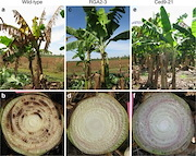 Fig. 2 Characteristic symptoms of Foc TR4 in susceptible and resistant banana. External symptoms and reddish-brown internal vascular discoloration of Foc TR4 in infected WT Cavendish a and b compared with resistant transgenic lines RGA2-3 c and d, and Ced9-21 eand f