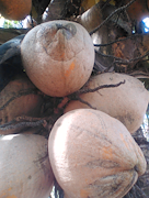 Backyard coconuts, northern side of Fiji (dry zone), with powdery sticky feel to the surface
