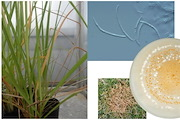 The work has identified a new species of microdochium, a fungus found on giant rat's tail grass. (Supplied: Queensland Department of Agriculture)