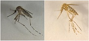 CRISPR/Cas9-mediated disruption of genes associated with cuticle pigment caused mosquitoes to turn from black to yellow, and disruption of genes associated with eye pigment caused eye color to change from black to white