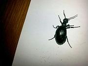 Beetles from Alkharja city, Egypt