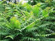 Tree of Heaven - Ailanthus altissima. Tree of Heaven (Ailanthus altissima) is the preferred host plant for Spotted Lanternfly, but the insect will also feed on many other species of plants including, fruit trees, grapes and hops. (Public domain image)