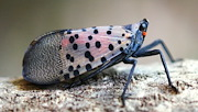 First encountered in the United States in Pennsylvania in 2014, the spotted lanternfly (Lycorma delicatula) had spread to New York, Delaware, and Virginia by early 2018. The invasive insect threatens Tree of Heaven as well as grapes, hops, and fruit trees, and it has a penchant for hitchhiking. Anyone sighting spotted lanternfly is urged to report it to their state agriculture department or local extension office. (Photo credit: Lawrence Barringer, Pennsylvania Department of Agriculture, Bugwood.org)