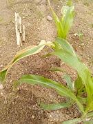 Maize, Nigeria