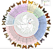 Researchers have produced a bigger, better butterfly evolutionary tree with a 35-fold increase in genetic data and three times as many taxa as previous studies. Credit  Researchers have produced a bigger, better butterfly evolutionary tree with a 35-fold increase in genetic data and three times as many taxa as previous studies. Figure by Espeland et al. in Current Biology