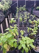 P. kaalaensis in a greenhouse. Credit: Geoff Zahn