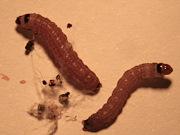 Cocoa pod borer, Kenya - Larvae