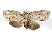 Cocoa pod borer, Kenya - Moth