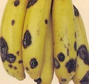 Anthracnose of banana