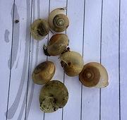 Snail attacking bitter gourd, Fiji