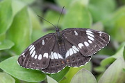 The Honshu White Admiral butterfly. Photo / Manaaki Whenua - Bradley White