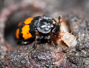Burying beetle feeding its young. Credit: Per Smiseth