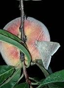 Achaea ablunaris - Bolivia