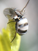 Bee fly?