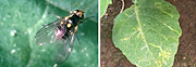 Serpentine leafminer (also known as Pea leafminer) Liriomyza huidobrensis has recently been found infesting field-grown vegetables in western Sydney.