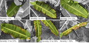 Symptoms of an attack of yellow sigatoka in banana leaves. Aerial images obtained with the Inspire 1 UAV.
