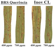 Figure 1. Representative images of rice leaves of both cultivars in each CO2 treatment illustrating the symptoms of brown spot, which were more prevalent and more severe under ambient CO2 conditions for both cultivars. Source: Dorneles et al. (2020).