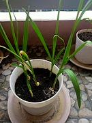 Garlic potted plant for urban gardening