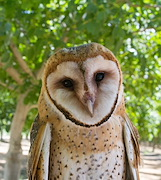 Like any biocontrol option, barn owls won't drive pest populations to zero and may need to be augmented with rodenticides occasionally (all photos courtesy Ryan Bourbour.)