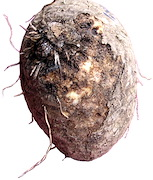 <P>Photo 1. <EM>Pratylenchus </EM><EM>coffeae </EM>in yam causes a shallow rot beneath the skin; the importance of the rot is not only&nbsp;the loss of flesh for eating, it is also the loss of planting material. Yams infected with dry rot do not sprout or, if they do, the cutting will be infested with nematodes which will attack the roots when the sets are planted.</P>