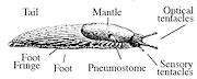 <P>Diagram. Slug anatomy.</P>