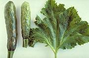 <P>Photo 1. <EM>Zucchini yellow mosaic virus</EM> in zucchini showing leaf mosaic, and fruit distortions.</P>
