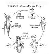 <P>Diagram. Life cycle of western flower  thrips, <EM>Frankliniella occidentalis</EM>.</P>