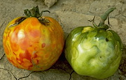 <P>Photo 3. Mottling on tomato fruits caused by  <EM>Tomato spotted wilt virus</EM> transmitted by the western flower thrips,  <EM>Frankliniella occidentalis</EM>.</P> <P></P>.