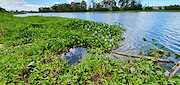 <p>Photo 3. Typical mass of water hyacinth, <EM>Eichhornia crassipes</EM>, at edge of fast flowing river.</p>