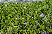 <p>Photo 2. Dense mass of water hyacinth, <EM>Eichhornia crassipes</EM>, some in flower (lilac-blue).</p>