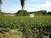 <p>Photo 1. Dense mass of water hyacinth, <EM>Eichhornia crassipes</EM>.</p>
