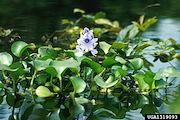 <p>Photo 7. Flower of water hyacinth, <EM>Eichhornia crassipes</EM>.</p>