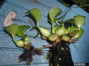 <p>Photo 4. Short stem, on top or just under water, linking mother and daughter plants,&nbsp;water hyacinth, <EM>Eichhornia crassipes</EM>.</p>