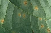 <P>Photo 2. Yam rust, <EM>Goplana australis</EM> (underside of  leaf).  </P>