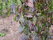<P>Photo 3. Leaves blacken rapidly&nbsp;after lengthy periods of rain followed by sunny days. Blackening occurs on the leaves and also on the stems in response to spores of <EM>Colletotrichum gloeosporioides</EM>. The spores germinate but do not infect.</P>