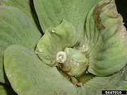 <p>Photo 4. Flower, water lettuce, <EM>Pistia stratiotes.</EM></p>